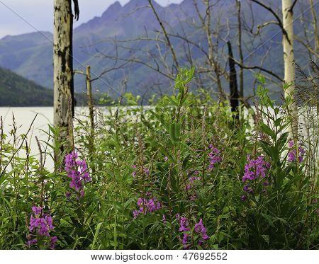 Wild Fireweed flowers