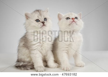 poster of White fluffy classic persian cats isolated on white