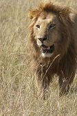 Male adult African lion (Panthera Leo) with full mane in grasses of Masai Mara National Park Kenya East Africa poster