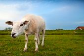 funny suspicious sheep on pasture via wide angle poster