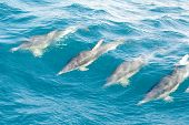 four dolphins swimming and playing together. poster
