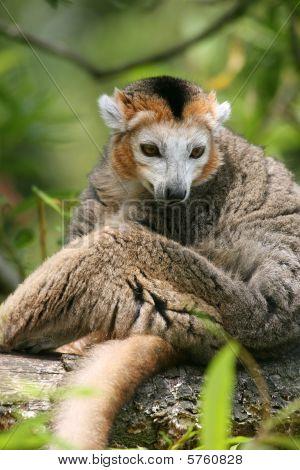 Crowned Lemur(Eulemur Coronatus)