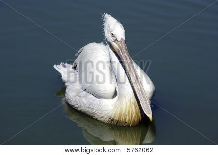 Pelican swimming in lake and looking for fish. poster