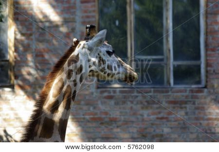 Head and neck of giraffe at the zoo. Common building made of bricks as background. poster