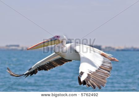 flying pelican
