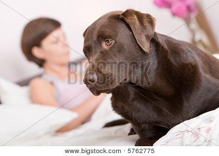 Shot Of A Handsome Labrador Alert In Owner's Bed