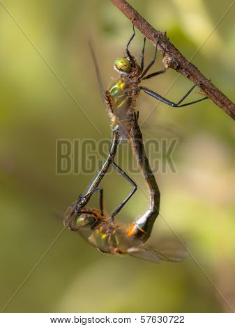 Reproducing Couple Of Downy Emerald Dragonfly