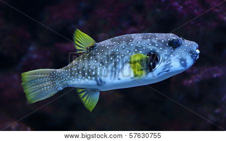 Close-up view of a White-spotted puffer fish
