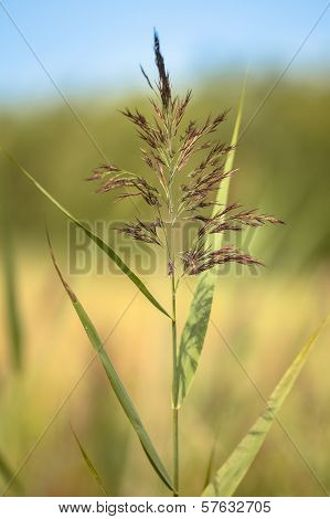 Reed In Marshland