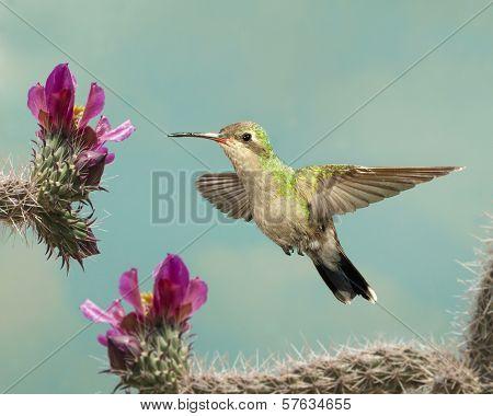 Female Broad-billed Hummingbird with Cactus Flowers