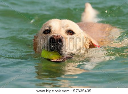 Labrador Retriever with Ball