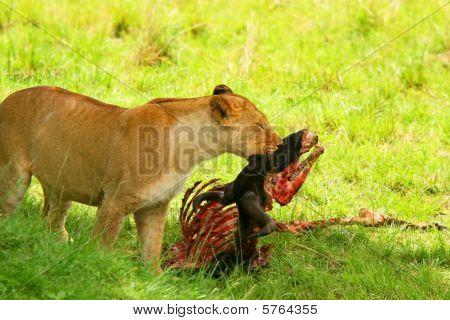 Wild African Lioness Eating Wildebeest