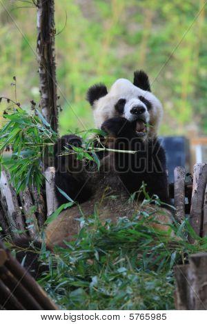 Endangered animal Panda