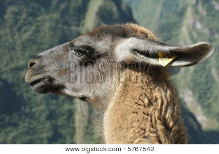 close up of the head of a peruvian llama in the andes