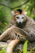 crowned lemur (Eulemur coronatus) sitting on a branch of a tree poster