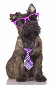 adorable cairn terrier puppy in a tie and glasses poster