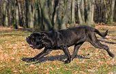 Neapolitan Mastiff running in the dense woods poster