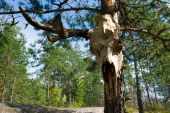 Elk skull on a pine-tree in sunny day poster