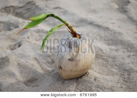 Sprouted Coconut on the Sand