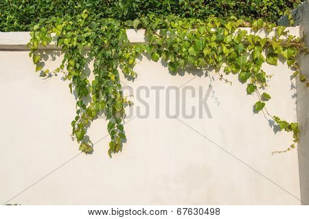 ivy leaves isolated on a white wall