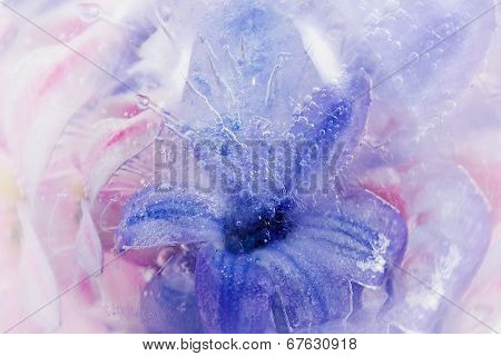The frozen lilac hyacinth in ice with bubbles poster