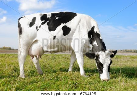 White milch cow with black spots grazing on green grass pasture over blue sky poster
