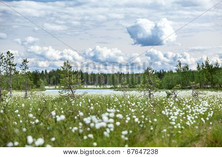 Summer Landscape With Cotton Grass On Swamp And River At Distance