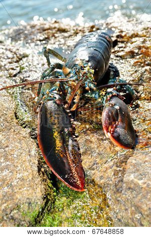 A Live Lobster Washed On A Rocky Beach