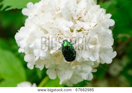 Bug Sit On White Flower Wind Swings Inflorescence