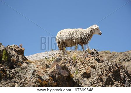 Lonely Sheep on the top of the mountain