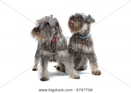 two miniature Schnautzer dogs