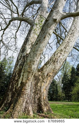 London Plane Tree