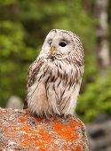 Strix uralensis nocturnal owl living in Europe and Asia poster