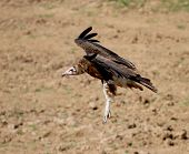 A hooded vulture (Necrosyrtes monachus) spreads its wings as it comes in to land. poster