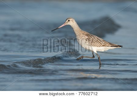 Bar-tailed Godwit (limosa Lapponica) Striding Over A Small Wave