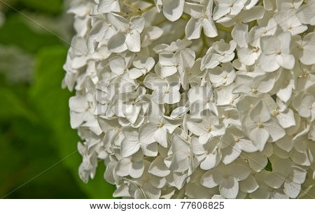 Large White Hydrangea Flower