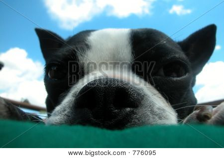 Boston Terrier Sky