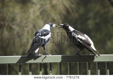 Magpies Feeding