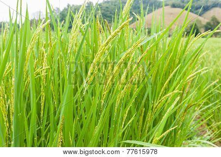 Rice Field