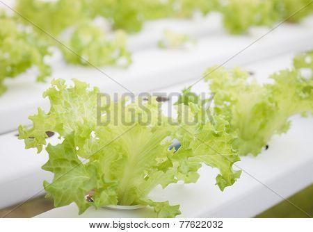 Frillice Iceberg Plants On Hydrophonic Farm