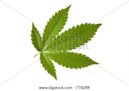 Marijana leaf (grass,pot)