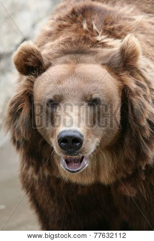 Female Kamchatka brown bear (Ursus arctos piscivorus), the second largest brown bear in the world after a Kodiak bear.