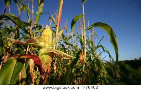 Openned corn crop.
