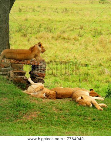 group of sleeping lions. Africa. Kenya. Masai Mara poster