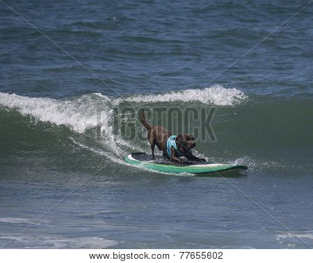 Chocolate Lab on surfboard