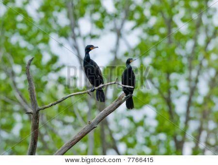 Double Creasted Cormorant