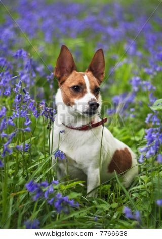 Jack Russell Terrier Among Bluebells
