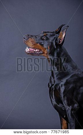 dog breeds Doberman Pinscher on a black background