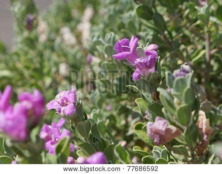 Eremophila nivea bloom
