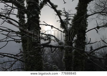 mossy trees on cloudy day